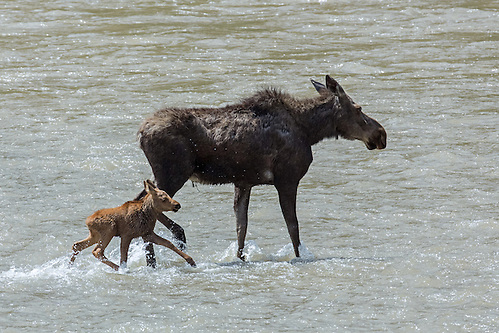 As the food supply on the island is depleted, the moose cow must venture to the mainland to forage.  Her calf attempts to follow her, but he is unable to navigate in the rising water of the Shoshone River. (Sandy Sisti)