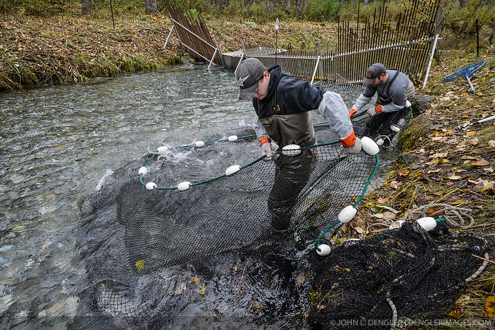 Dylan Burbank (left) and David Campbell, fish technicians for the non-profit Northern Southeast Regional Aquaculture Association, Inc. (NSRAA), use a large net to catch chum salmon trapped in a temporary weir located on the man-made spawning channel of Herman Creek near Haines, Alaska. NSRAA built the channel to collect wild broodstock by harvesting spawning female and male salmon for their eggs and milt to artificially spawn wild chum salmon. The eggs are fertilized with milt and placed in stream-side incubation boxes on Herman Creek and the Klehini River. In 2014, 2.4 million eggs were seeded into these incubation boxes. The 2013 incubation box survival rate was 90%. Without the artificial spawning, natural survival is said to be only 10%. Based in Sitka, Alaska, NSRAA conducts salmon enhancement projects in northern southeast Alaska. It is funded through a salmon enhancement tax (of three percent) and cost-recovery income. NSRAA also produces sockeye, chinook, and coho salmon. Male chum salmon return to Herman Creek to spawn with female chum salmon during the fall chum salmon run. The chum salmon return to freshwater Herman Creek, tributary of the Klehini River after living three to five years in the saltwater ocean. Spawning only once, chum salmon die approximately two weeks after they spawn. Chilkat River and Klehini River chum salmon are the primary food source for one of the largest gatherings of bald eagles in the world. Each fall, bald eagles congregate in the Alaska Chilkat Bald Eagle Preserve. (© John L. Dengler/Dengler Images)