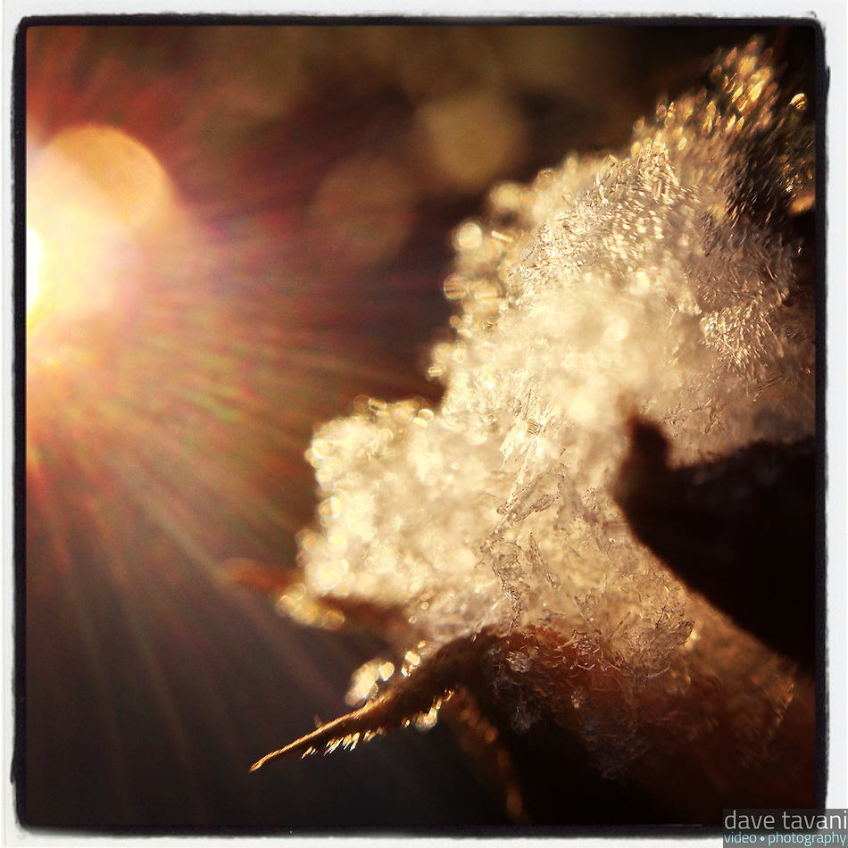 The sun shines on a tuft of snow that sits on a dead rose of sharon flower in our back yard on the morning of January 26, 2013. (Dave Tavani)