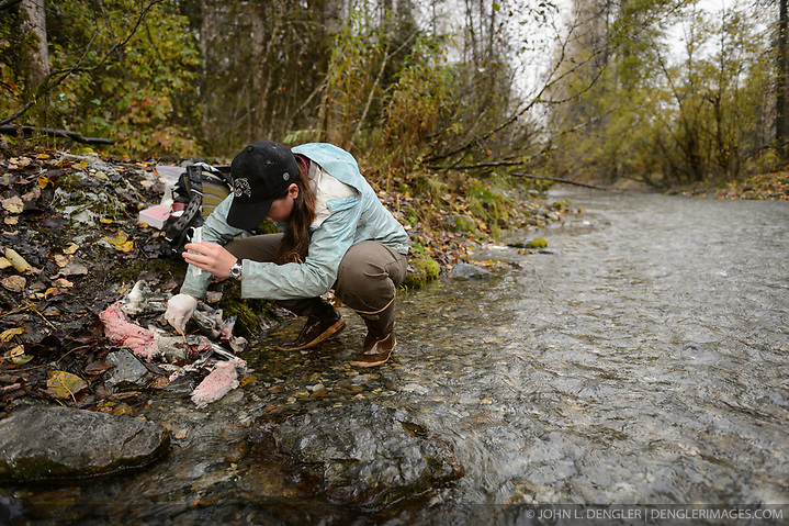 Rachel Wheat, a graduate student at the University of California Santa Cruz, takes a bear saliva DNA sample from a partially consumed salmon on the banks of the man-made spawning channel of Herman Creek, near Haines, Alaska. Wheat is collecting DNA samples of bears from bear saliva left on salmon carcasses as part of research for her doctoral dissertation. She hopes to determine if partially-consumed salmon carcasses can serve as a viable source for bear DNA to genotype individuals. She also looking to determine a minimum population estimate for the number of bears using the Chilkoot Valley and the ratio of males to females, particularly in light of increase human presence. The bear DNA collection is part of her dissertation which looks at how the availability of salmon affects eagle movement, bear activity, and subsistence fishermen. EDITORS NOTE: Images of Wheat capturing bald eagles for the bald eagle portion of her study are available here: http://denglerimages.photoshelter.com/gallery/Bald-eagle-research-Chilkat-River-eagle-migration-study/G0000GTyPvah7eiQ/ During late fall, bald eagles congregate along the Chilkat River to feed on salmon. This gathering of bald eagles in the Alaska Chilkat Bald Eagle Preserve is believed to be one of the largest gatherings of bald eagles in the world. (© John L. Dengler/Dengler Images)