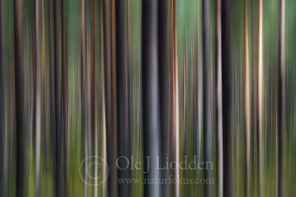 Pine forest in Ringerike, Norway (Ole Jørgen Liodden)
