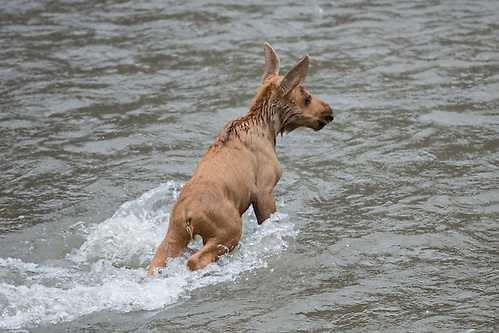 After swimming through the strong current of the Shoshone River, the tiny moose calf returns to the island. (Sandy Sisti)