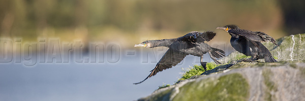 Skarv i flukt | Escaping Cormorant. (Kay-Åge Fugledal)
