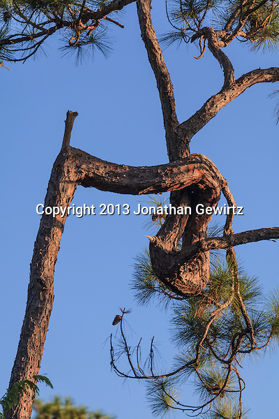 The convoluted trunk of a slash pine tree in Everglades National Park, Florida. (Jonathan Gewirtz   jonathan@gewirtz.net)