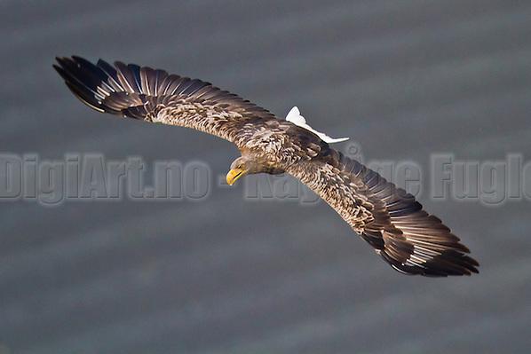 Havørn | White-tailed Eagle (Kay-�ge Fugledal)