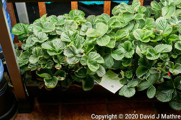 AeroGarden Farm 07-Left. Strawberry Plants (106 days). Image taken with a Leica TL-2 camera and 35 mm f/1.4 lens (ISO 500, 35 mm, f/8, 1/30 sec). (DAVID J MATHRE)