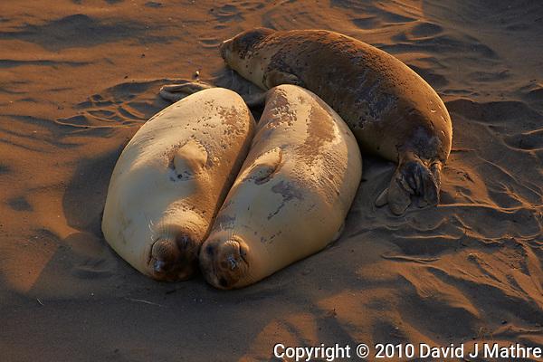 Elephant Seals at Piedras Blancas Beach, Central California Coast. Image taken with a Nikon D3x and 70-300 mm VR lens (ISO 400, 180 mm, f/8, 1/200 sec). (David J Mathre)