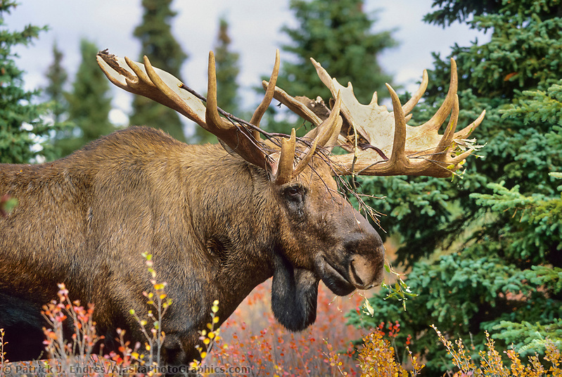 Large Bull Moose with branch in alters from raking against a bush during the rut season, autumn tundra, Denali National Park, Alaska (Patrick J. Endres / AlaskaPhotoGraphics.com)