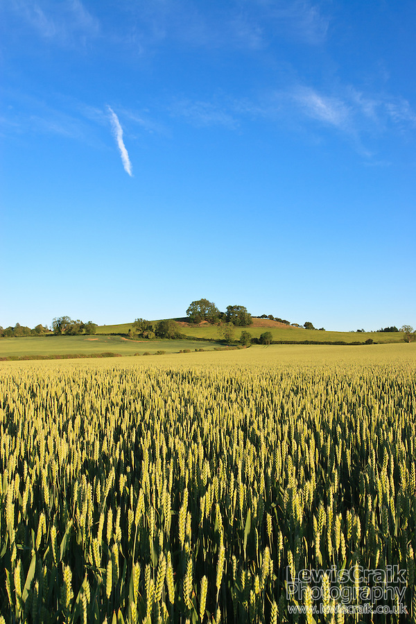 Wheat Field in the evening sunshine, Flecknoe, Warwickshire. June 2011 (Lewis Craik)