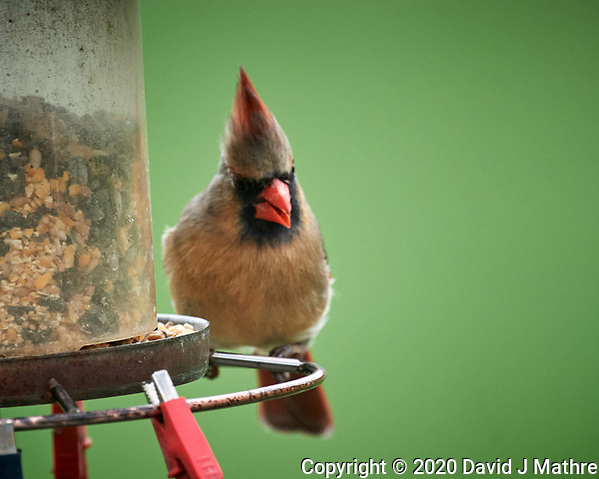 Female Northern Cardinal. Image taken with a Nikon D5 camera and 600 mm f/4 VR lens (ISO 1600, 600 mm, f/5.6, 1/1000 sec) (DAVID J MATHRE)
