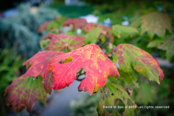 9.24.18 - Autumn Leaves... (© David M Sax 2018 - all rights reserved)