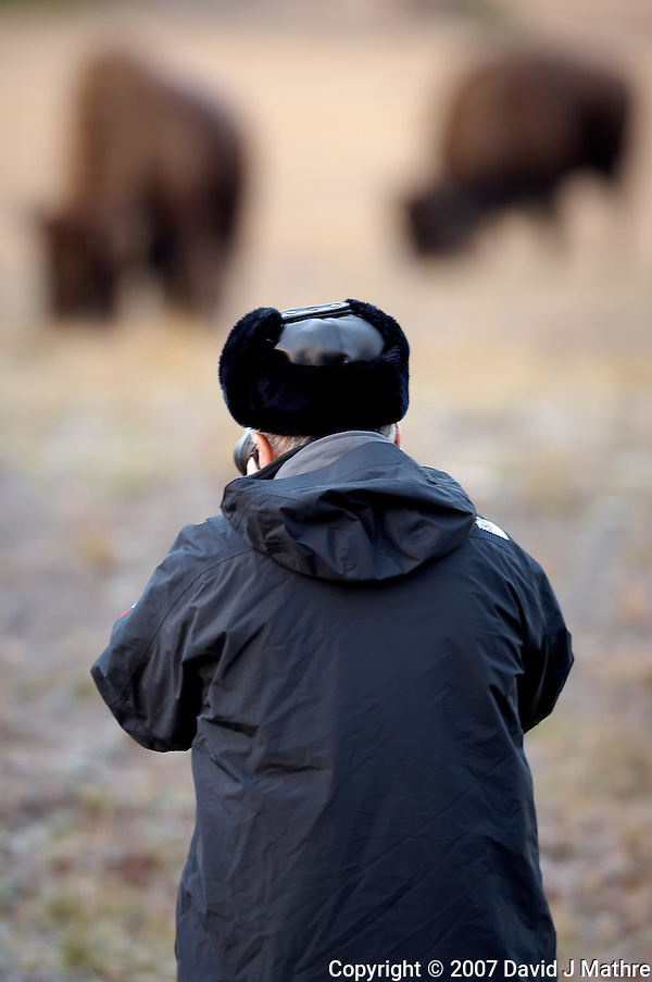 Morning Bison Hunter. Yellowstone National Park. Image taken with a Nikon D2Xs and 200 f/2 VR lens (ISO 400, 200 mm, f/2, 1/180 sec). (David J Mathre)