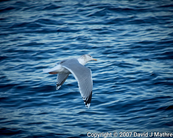 Gull in flight from the deck of the Hurtigruten MS Fram traveling between Torvik and Ålesund. Image taken with a Nikon D2xs camera and 80-400 mm VR lens (ISO 400, 400 mm, f/5.6, 1/640 sec). (David J Mathre)