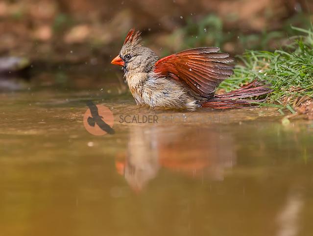 Female Northern Cardinal taking a birdbath in a puddle (sandra calderbank)