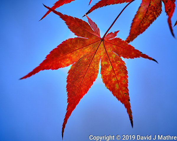 Backlit Autumn Japanese Maple Leaves. Image taken with a Fuji X-H1 camera and 200 mm f/2 lens + 1.4x teleconverter (ISO 200, 280 mm, f/2.8, 1/400 sec). (DAVID J MATHRE)