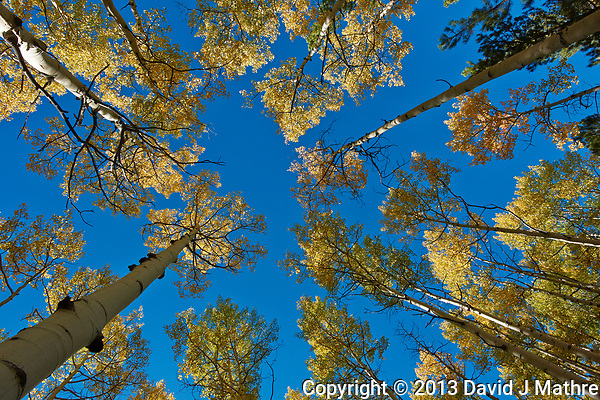 Looking Up. Autumn Aspen Forest in Colorado. Image taken with a Nikon 1 V2 camera and 6.7-13 mm VR lens (ISO 160, 6.7 mm, f/8, 1/320 sec) (David J Mathre)