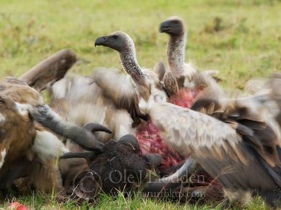 White-backed Vulture (Gyps africanus) in Masai Mara, Kenya (Ole Jørgen Liodden)