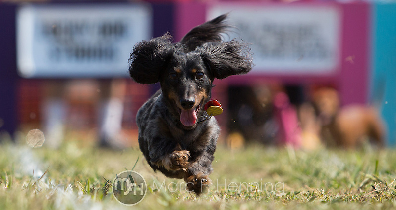 "Photo by Marc F. Henning The 7th annual ""Wiener Takes All"" Arkansas State Championship Dachshund Races at the Bella Vista Hay Days in Bella Vista, Ark. (MARC F. HENNING/MARC F. HENNING PHOTOGRAPHY)"