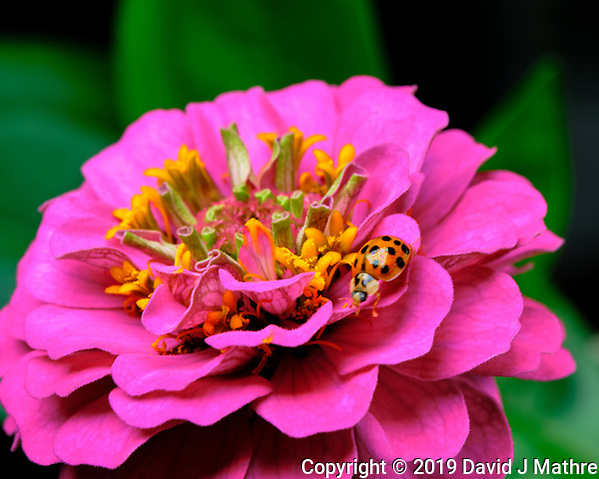 Asian Lady Beetle on a Pink Zinnia Flower. Image taken with a Fuji X-T3 camera and 80 mm f/2.8 macro lens (ISO 160, 80 mm, f/11, 1/60 sec). (DAVID J MATHRE)