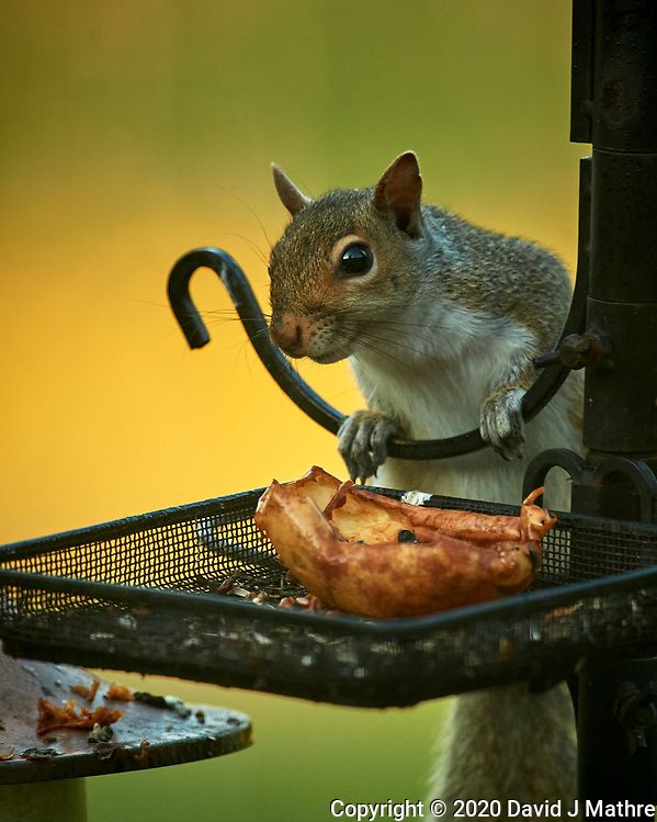 Squirrel at the birdfeeder. Image taken with a Nikon D5 camera and 600 mm f/4 VR lens (DAVID J MATHRE)