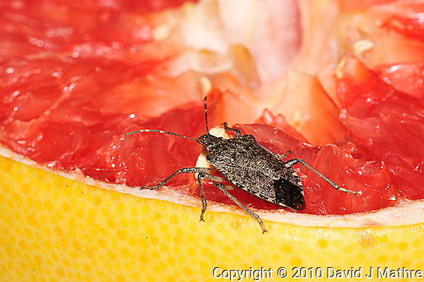 Stink Bug Eating Pink Grapefruit. Image taken with an Nikon D3 and 200 mm f/4 macro lens (ISO 200, f/16, 1/60 sec, ring flash). (David J Mathre)