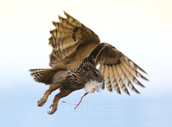 Hawk Owl (Surnia ulula) in Norway (Ole Jørgen Liodden)