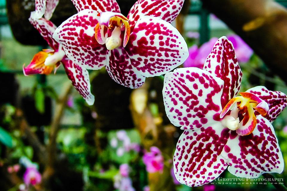 Indonesia, Java, Bogor. Orchid in the Bogor Botanical Gardens (Kebun Raya). (Photo Bjorn Grotting)