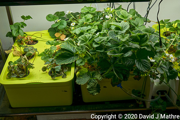 Hydroponic Tub 05-06. Strawberry Plants (85 days). Image taken with a Leica TL-2 camera and 35 mm f/1.4 lens (ISO 250, 35 mm, f/8, 1/50 sec). (DAVID J MATHRE)