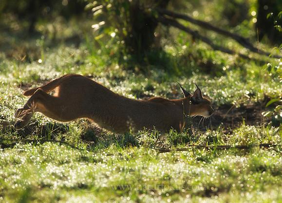 Caracal (Caracal caracal) in Masai Mara, Kenya (Ole Jørgen Liodden)