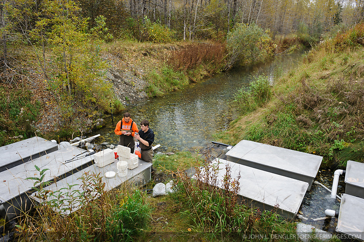 Dylan Burbank (right), and David Campbell, fish technicians for the non-profit Northern Southeast Regional Aquaculture Association, Inc. (NSRAA), measure and record the weight of eggs collected from chum salmon captured at the man-made spawning channels at Herman Creek, located near Haines, Alaska. In 2014, 2.4 million eggs were seeded into these incubation boxes. The 2013 incubation box survival rate was 90%. Without the artificial spawning, natural survival is said to be only 10%. Weighing the eggs is the way technicians determine how many eggs are placed in the incubation boxes. After weighing, the eggs will be fertilized with the milt and then placed in the incubation boxes. Over the winter the fertilized eggs will develop into fry. The incubation process is 100% natural. Fry are not fed. Once they are big enough, the fish leave the incubation boxes on their own. Based in Sitka, Alaska, NSRAA conducts salmon enhancement projects in northern southeast Alaska. It is funded through a salmon enhancement tax (of three percent) and cost-recovery income. NSRAA also produces sockeye, chinook, and coho salmon. Male chum salmon return to Herman Creek to spawn with female chum salmon during the fall chum salmon run. The chum salmon return to freshwater Herman Creek, tributary of the Klehini River after living three to five years in the saltwater ocean. Spawning only once, chum salmon die approximately two weeks after they spawn. Chilkat River and Klehini River chum salmon are the primary food source for one of the largest gatherings of bald eagles in the world. Each fall, bald eagles congregate in the Alaska Chilkat Bald Eagle Preserve. (© John L. Dengler/Dengler Images)