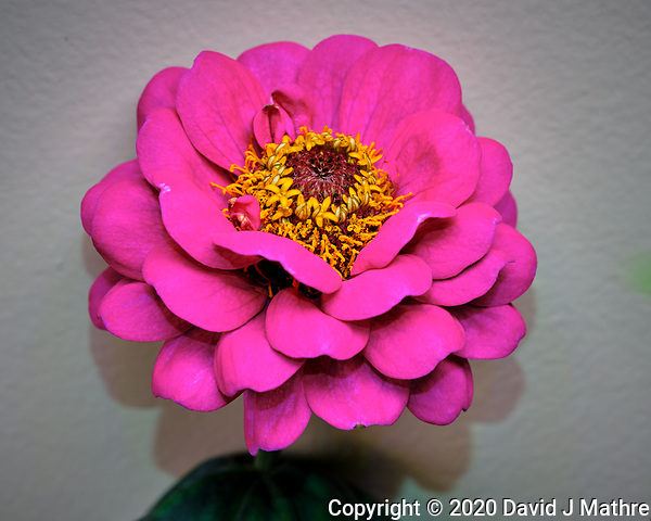 Pink Zinnia Flower. Image taken with a Fuji X-T3 camera and 80 mm f/2.8 OIS macro lens (ISO 160, 80 mm, f/8, 1/60 sec) (DAVID J MATHRE)