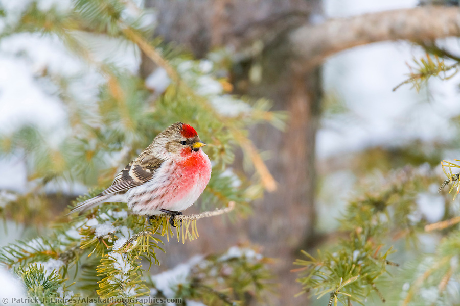 Alaska bird photos: Common Redpoll on spruce branch, Fairbanks, Alaska (Patrick J. Endres / AlaskaPhotoGraphics.com)