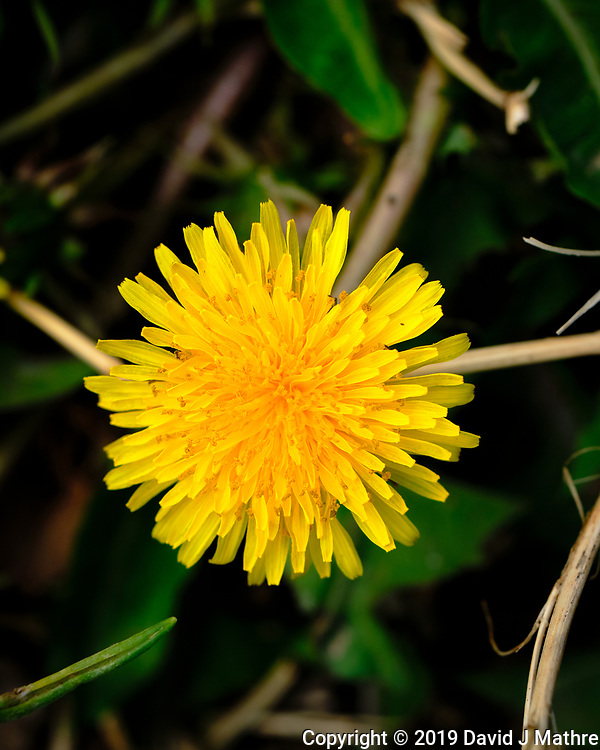 Dandelion Bloom. Image taken with a Fuji X-H1 camera and 80 mm f/2.8 macro lens (DAVID J MATHRE)