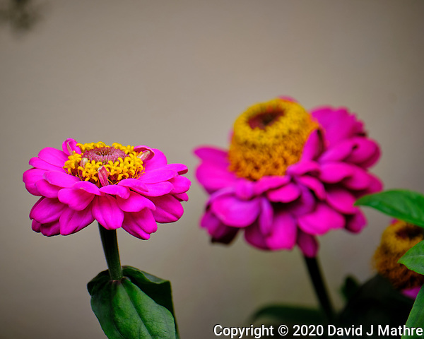 Indoor Hydroponic Zinnia Flower. Image taken with a Fuji X-T2 camera and 100-400 mm OIS lens (ISO 200, 400 mm, f/6.4, 1/180 sec). (David J Mathre)