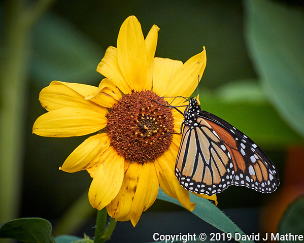 Monarch Butterfly on a Sunflower. Image taken with a Nikon 1 V3 camera and 70-300 mm VR lens. (DAVID J MATHRE)