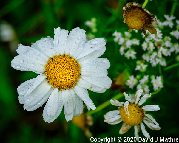 Daisy after the rain. Image taken with a Fuji X-T3 camera and 80 mm f/2.8 OIS macro lens (DAVID J MATHRE)