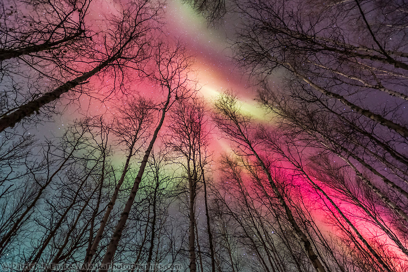 Vibrant red and green aurora borealis above the birch tree forest in Fairbanks, Alaska. (Patrick J Endres / AlaskaPhotoGraphics.com)