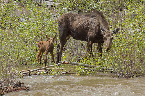 After giving birth to her tiny calf on an island in the Shoshone River, the moose cow and calf are stranded on the island as the river's water begins to rise. (Sandy Sisti)