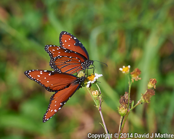 Pair of Queen Butterflies on a Wildflower. Big Cypress Swamp National Preserve in Florida. Image taken with a Nikon D3x camera and 70-200 mm f/2.8 lens (ISO 200, 200 mm, f/5.6, 1/400 sec). (David J Mathre)