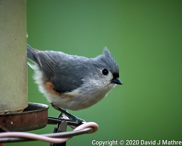 Tufted Titmouse. Image taken with a Nikon D5 camera and 600 mm f/4 VR lens (ISO 800, 600 mm, f/5.6, 1/1250 sec) (DAVID J MATHRE)