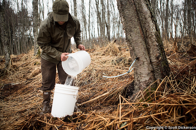 Jake Beaudoin collecting Birch sap to be evaporated down into Birch Syrup in Homer, Alaska. (Scott Dickerson)
