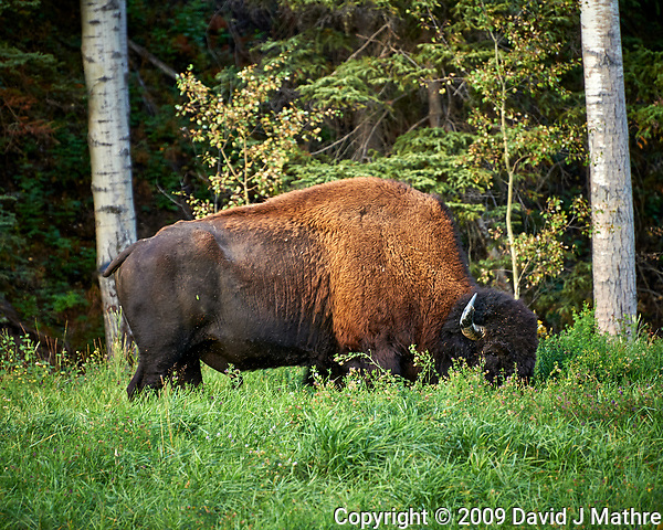 Bison alongside the Alaska-Canada Highway. Image taken with a Nikon D700 camera and 70-300 mm f/4 lens (ISO 280, 300 mm, f/5.6, 1/60 sec). (David J Mathre)