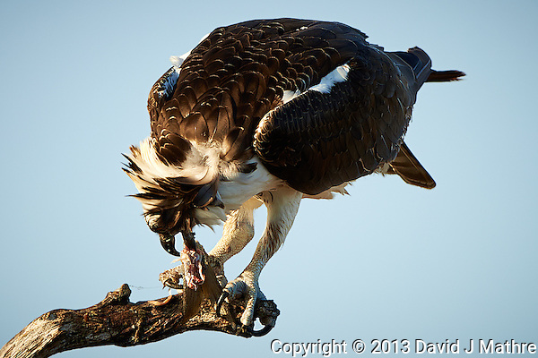Osprey Finishing a Fish for Breakfast. Merritt Island National Wildlife Refuge. Image taken with a Nikon D800 and 500 mm f/4 lens (ISO 100, 500 mm, f/4, 1/640 sec) (David J Mathre)