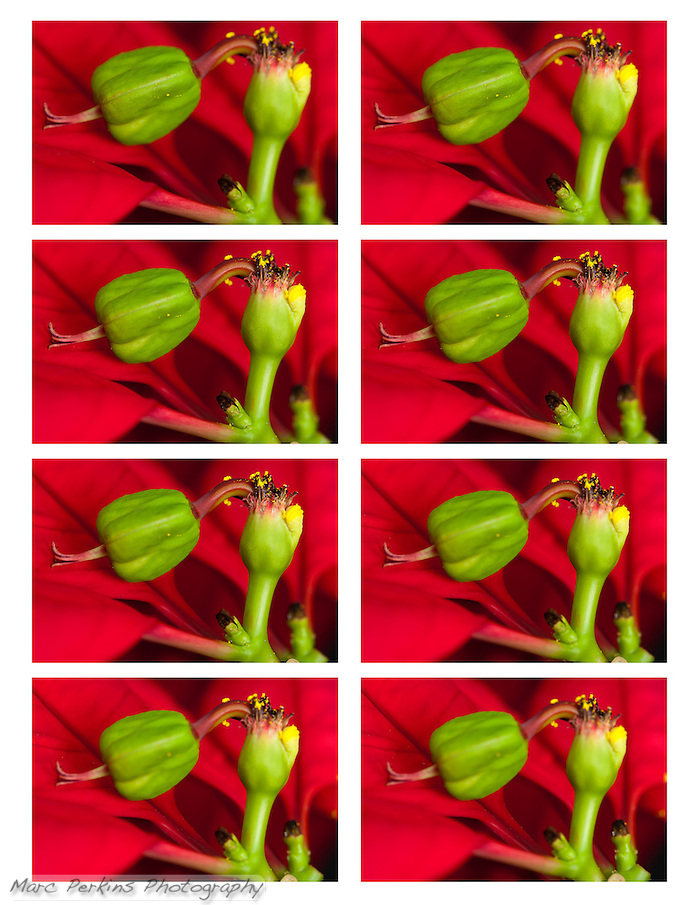 Eight separate images of the same female poinsettia flower; these eight images are all focused on a slightly different plane, and to create the final image I blended all of these into a single image using Photoshop.  Using this technique preserved sharpness, while letting me precisely control the final depth of field. plane, and to create the final image I blended all of these into a single image using Photoshop.  Using this technique preserved sharpness, while letting me precisely control the final depth of field. (Marc C. Perkins)