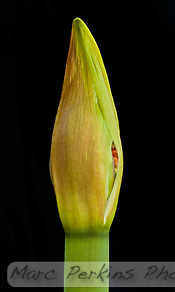 A young developing amaryllis ([Hippeastrum] sp cultivar) flower just starting to emerge from its sheath.  Amaryllis flowers grow on a scape, a long leafless stem, and develop inside spathes, bracts (modified leaves) that surround an inflorescence (cluster of multiple flowers).  The two spathes are just starting to split open, revealing a bit of red from one of the flowers.  This image was captured outside using natural light, with a reflector used to angle light on to highlight the texture of the flower bud's tip.  No flowers were harmed in the production of this image. (Marc C. Perkins)