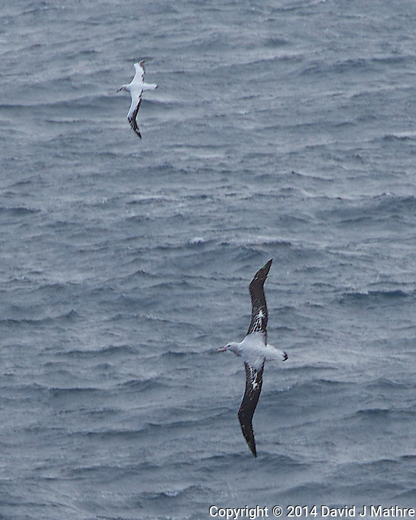 Pair of Wandering Albatross Searching for Food in the South Atlantic Ocean from the Deck of the Hurtigurten MS Fram. Image taken with a Leica T camera and 18-56 mm lens (ISO 100, 56 mm, f/5.6, 1/400 sec). Raw image processed with Capture One Pro 8, Focus Magic, and Photoshop CC 2014. (David J Mathre)