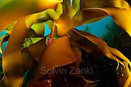 Kelp forest (Laminaria hyperborea), Atlantic Ocean, North West Norway | Ein Kelpwald oder Algenwald, der hauptsächlich vom Palmentang (Laminaria hyperborea) gebildet wird. Norwegen (Solvin Zankl)