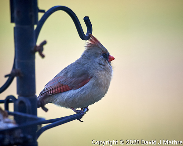 Female Northern Cardinal. Image taken with a Nikon D5 camera and 600 mm f/4 VR lens (ISO 1000, 600 mm, f/4, 1/1250 sec). (DAVID J MATHRE)