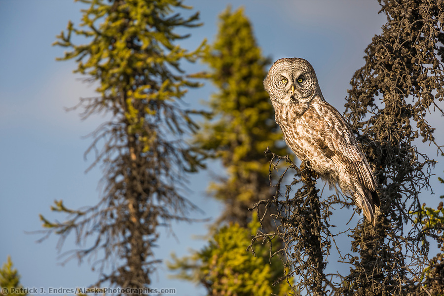 Great Gray owl in black spruce trees, southcentral, Alaska. (Patrick J. Endres / AlaskaPhotoGraphics.com)