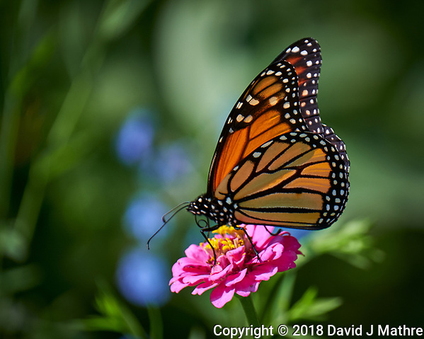 Monarch Butterfly on a Pink Zinnia Flower. Image taken with a Fuji X-T3 camera and 100-400 mm OIS telephoto zoom lens (ISO 200, 400 mm, f/5.6, 1/500 sec). Raw image processed with Capture One Pro. (David J Mathre)